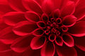 Red dahlia flower closeup on Royalty Free Stock Image