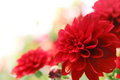 Red dahlia flower closeup on Royalty Free Stock Photography