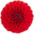 A red dahlia flower on white background Stock Image