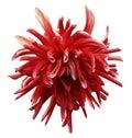Red Dahlia Flower On White Iso...