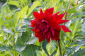 Red dahlia on green background of leaves Stock Photography