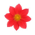 Red dahlia isolated on a white background Royalty Free Stock Photo