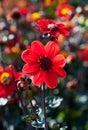 Red dahlia macro Royalty Free Stock Photo
