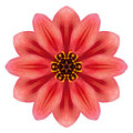 Red dahlia mandala flower kaleidoscopic isolated on white background Royalty Free Stock Images