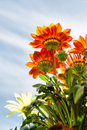 Red dahlias in sunlight low angle view shot sicily Royalty Free Stock Image