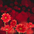 Red Daisies On Black Background