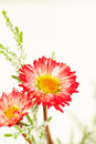 Red daisies and greens bright juniper with artificial snow Stock Images
