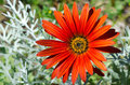 Red daisy clouse up of in the garden Stock Images