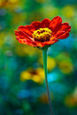 Red daisy in colored field Royalty Free Stock Photo
