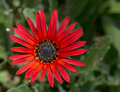 Red daisy flower close up. Royalty Free Stock Photos