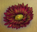 Red daisy pencil sketch colored drawn of a with many petals on brown paper Stock Images