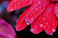 Red daisy petals covered by morning dew Royalty Free Stock Photos