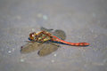 Red Darter Dragon Fly Royalty Free Stock Photo