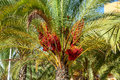 A red date tree palm full of dates Royalty Free Stock Image