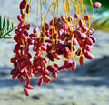 Red dates on a palm marsa alam egypt africa Royalty Free Stock Photo
