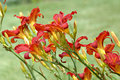Red Daylilies Royalty Free Stock Photography