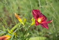 Red daylily bloom in summer in the garden Royalty Free Stock Photo