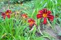 Red daylily Hemerocallis Royalty Free Stock Photo