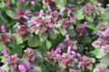 Red dead nettle lamium purpureum in the garden Stock Photo