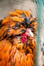 Red decorative chicken or rooster. Kholhatai breed chickens The head is covered with feathers.