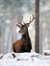 Red-deer Royalty Free Stock Photo
