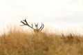 Red deer big trophy Royalty Free Stock Photo