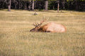 Red deer with branchy horns lies in a grass Royalty Free Stock Photo