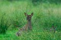 Red-deer, calf Royalty Free Stock Photo
