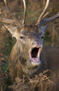 Red Deer calling Stock Photo