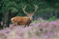 Red Deer (Cervus elaphus). Stock Photography