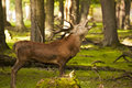 Red deer / Cervus elaphus bellowing in the forest Royalty Free Stock Photo