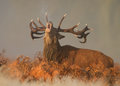 Red deer cervus elaphus at dawn stag roaring in the misty morning Stock Photos