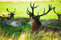 Red deer close up of in the grass Royalty Free Stock Image