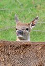 Red Deer Fawn poking out tongue Stock Photo