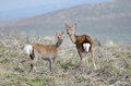 Red deer and fawn in wicklow ireland the mountains of Royalty Free Stock Photography