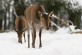 Red deer feale in winter wood Stock Photography