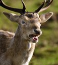 Red deer feeding in controlled parkland at stately home. Royalty Free Stock Photo