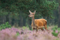 Red deer in the heather Royalty Free Stock Images