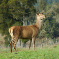 Red deer hind Stock Photo