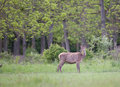 Red deer hind Royalty Free Stock Photo
