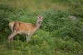 Red deer hind in the scottish highlands surrounded by ferns Stock Images