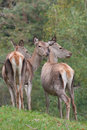 Red deer hinds Stock Photography
