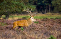 Red deer male Stock Photos