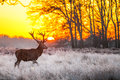 Red deer in morning sun at richmond park Stock Image
