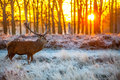 Red deer in morning sun at richmond park Stock Photography