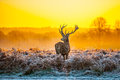 Red deer in morning sun at richmond park Royalty Free Stock Photography