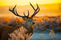 Red deer in morning sun at richmond park Stock Photos