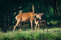 Red Deer mother and calf Royalty Free Stock Photo