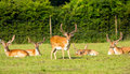 Red deer in new forest hampshire the england Royalty Free Stock Image