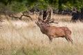 Red deer rut in denmark dyrehaven september Stock Image